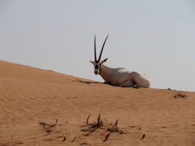منتجع المها الصحراوي