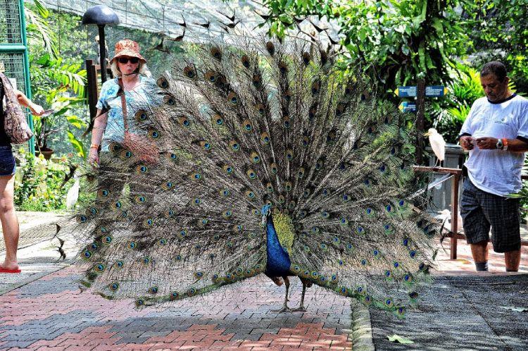 طاووس من الحديقة