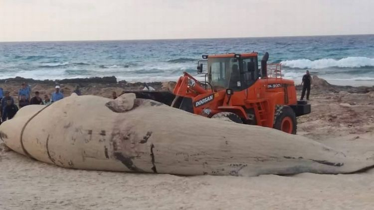 حوت على شاطئ مرسى مطروح