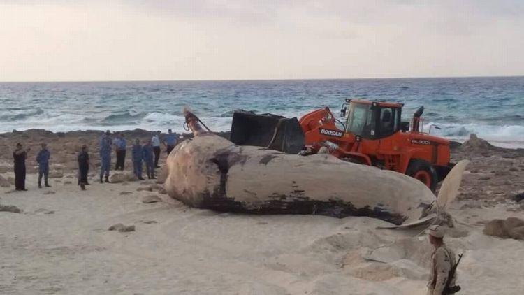 حوت على شاطىء مرسى مطروح