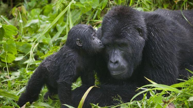 حديقة امبينيترابل بويندي الوطنية في أوغندا