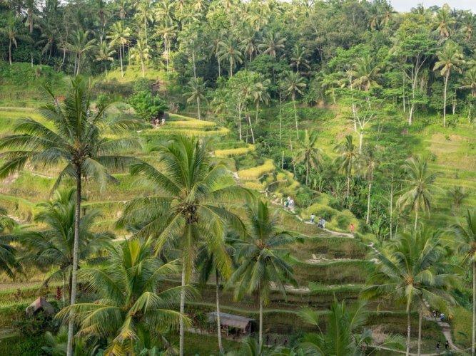 حقول الأرز في أوبود، بالي