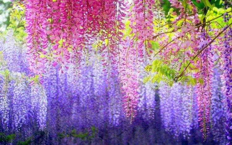 أزهار الوستارية اليابانية