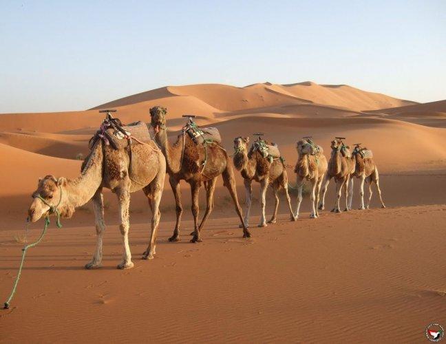 جمل صحراء دبي