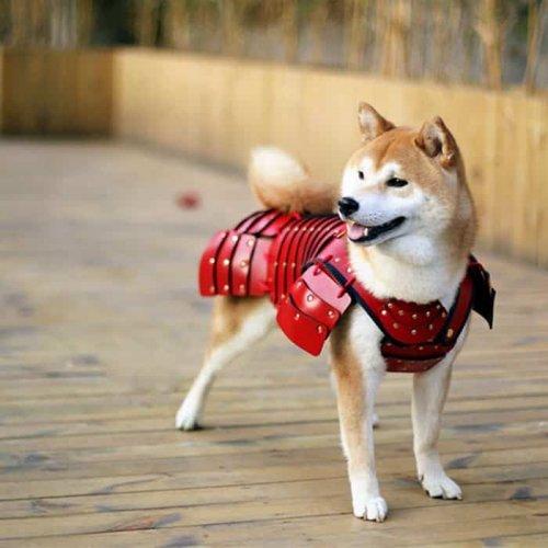 أحد الكلاب يرتدي درع الساموراي