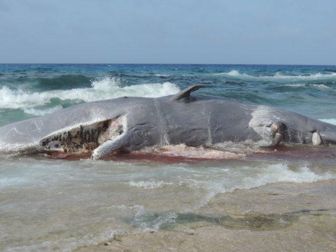 أحد الحيتان النافقة