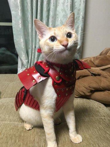 قطة ترتدى الساموراي