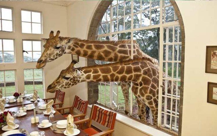 فندق قصر الزرافات في كينيا