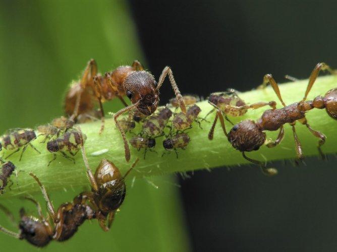 النملة الرصاصة