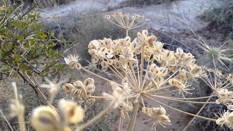 نبتة فريدة في محمية ضانا