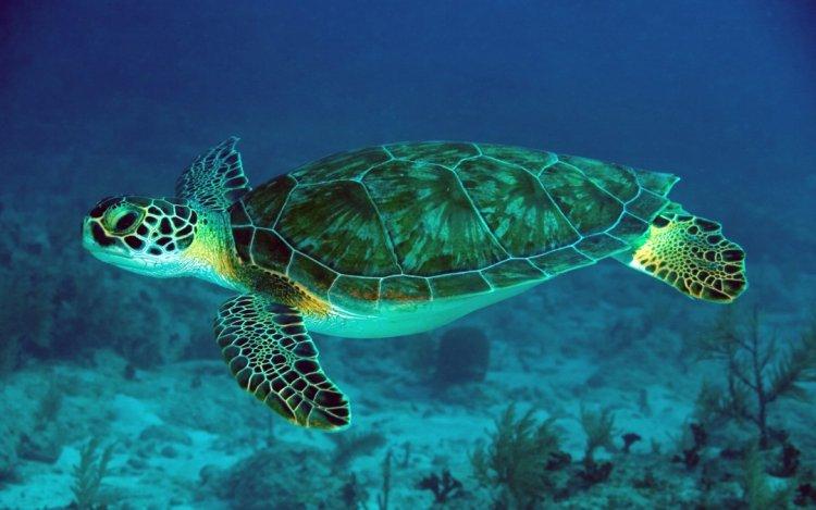 السلاحف البحرية في محمية أبو دباب