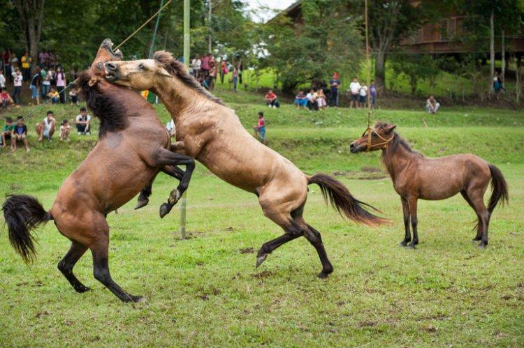 مصارعة الخيول في الفلبين