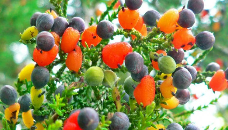 شجرة 40 فاكهة