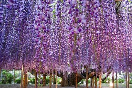 منتزه أشيكاجا للزهور