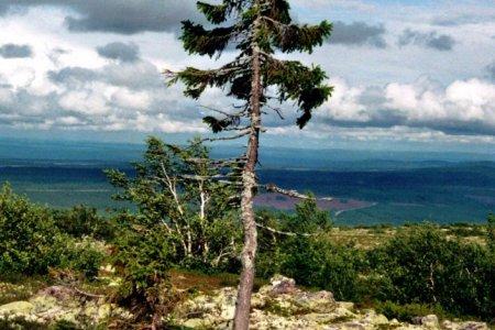 """""""تجيكو"""" اقدم شجرة بالعالم في السويد"""