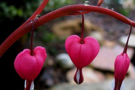 زهرة القلب النازف