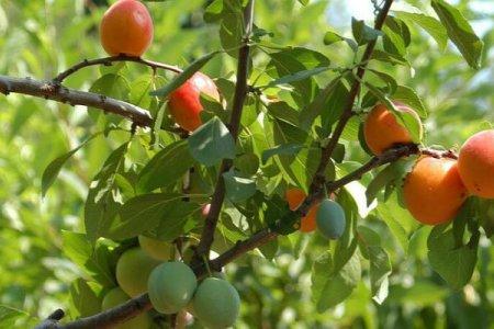 شجرة الاربعين فاكهة