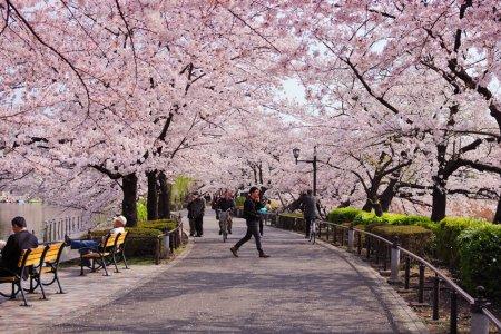 حديقة كيما ساكورانوميا في أوساكا - اليابان