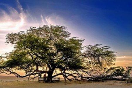 شجرة الحياة، في صحراء البحرين