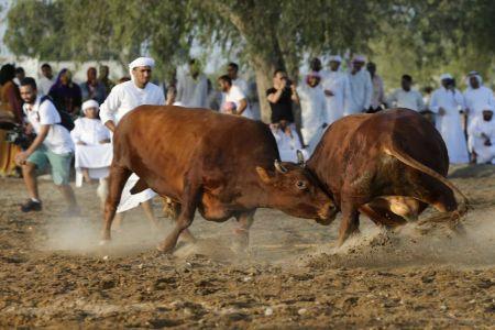 ساحة مصارعة الثيران في الفجيرة - الإمارات