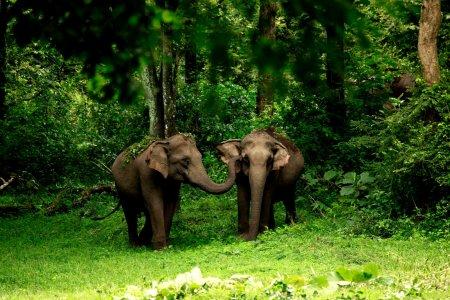 الفيلة المهددة بالانقراض في واياناد