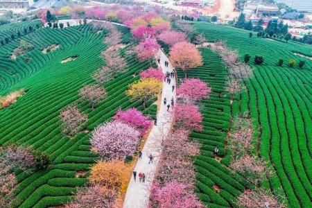 مهرجان أزهار الكرز
