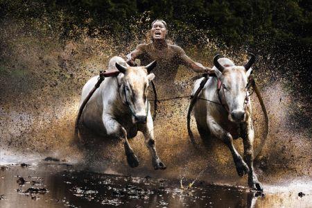 سباق جاموس الماء في بالي - إندونيسيا