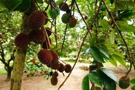 مزرعة فواكه ديسارو جوهور بارو - ماليزيا