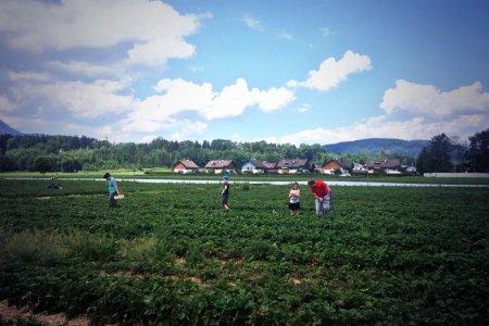 مزرعة الفراولة في سالزبورغ هولندا