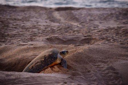 رأس الجنز شاطئ السلاحف