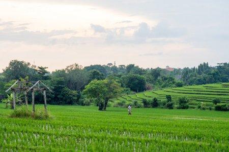 حقول الأرز في شاطئ كانجو