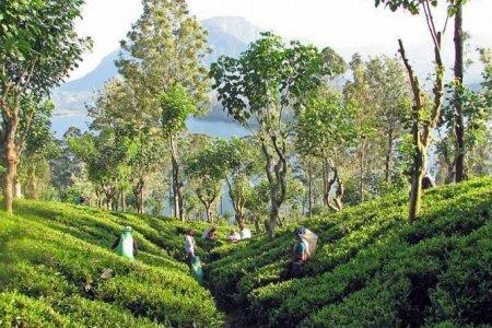 مزارع الشاي في كاندي
