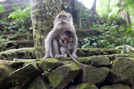 غابة القرود في بالي - إندونيسيا