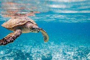 السلاحف في مياه كانكون