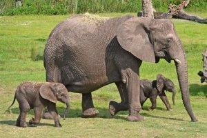 الفيلة الافريقية