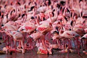 طيور الفلامنجو الحمراء في بحيرة ناكورو