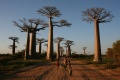 غابة Avenue of the Baobabs