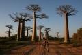 غابة Avenue of the Baobabs